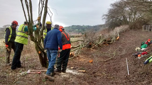 Hedge laying on the Cotswold Way near Dyrham
